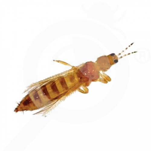 ro russell ipm pheromone frankliniella occidentalis 50 p - 1, small