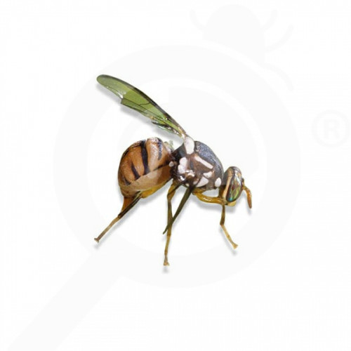 ro russell ipm pheromone lure bactrocera dorsalis 50 p - 1, small