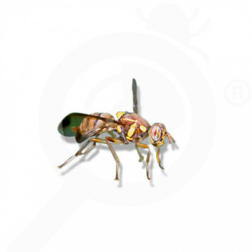 ro russell ipm pheromone lure bactrocera cucurbitae 50 p - 1, small