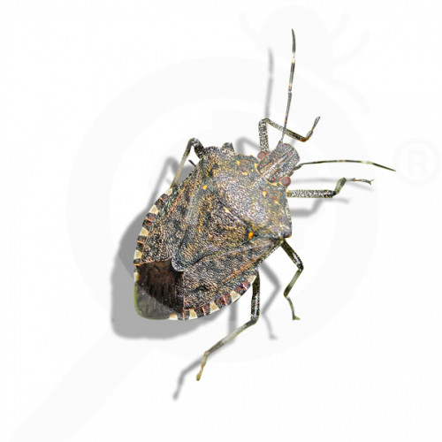 bg russell ipm pheromone lure halyomorpha halys 50 p - 0, small