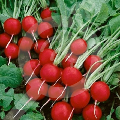 bg pop vriend seed cherry belle 500 g - 1, small