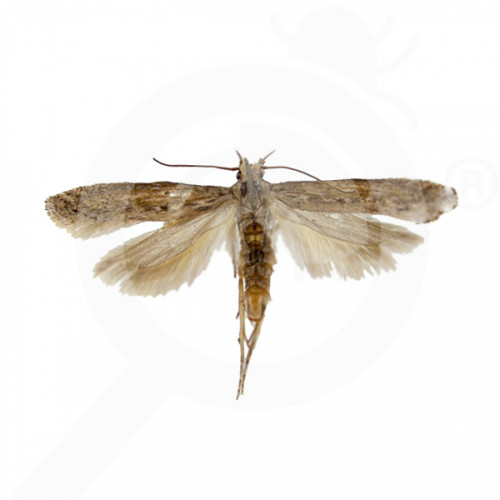bg russell ipm pheromone lure tecia solanivora lineatella 50 p - 0, small