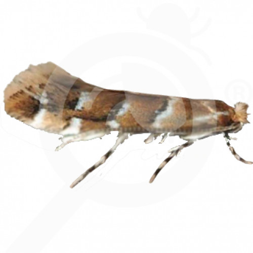 bg russell ipm pheromone lure cameraria ohridella 50 p - 0, small