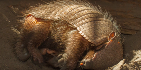 Броненосци Dasypodidae Информация за