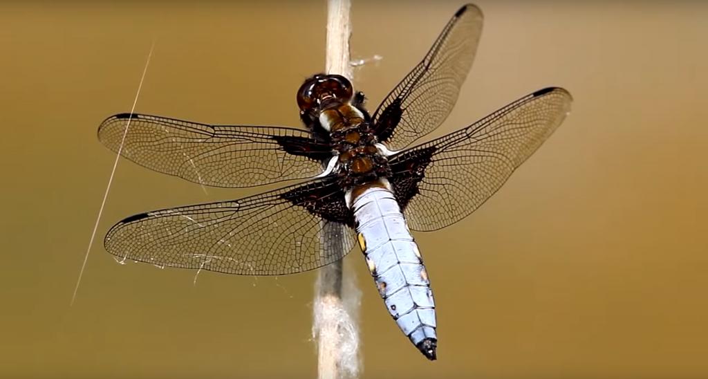 Водни Кончета Anisoptera Информация за