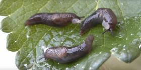 Голи Охлюви Gastropoda Информация за