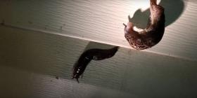 Голи Охлюви Gastropoda Как да се отървем от