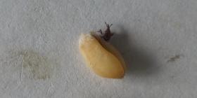Гъгрици Sitophilus granarius Информация за