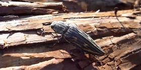 Дървояди Heterobostrychus Aequalis Информация за