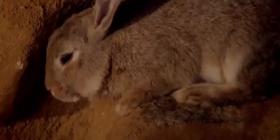 Зайци Oryctolagus Cuniculus Информация за