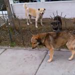 Кучета Canis lupus Информация за