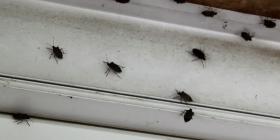 Миризливки Pentatomidae Как да се отървем от