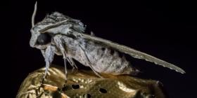 Нощни Пеперуди Lepidoptera Как да се отървем от