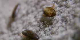 Ориенталски Хлебарки Blatta Orientalis Как да се отървем от
