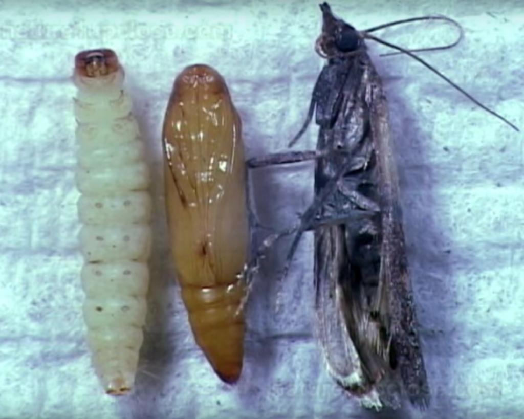 Хлебни Молци Plodia interpunctella Информация за