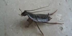 Ориенталски Хлебарки Blatta Orientalis Информация за