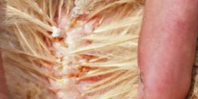 Акари При Домашните Птици Dermanyssus Gallinae Предотвратете инфестация от
