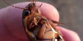 Американски Хлебарки Periplaneta Americana Предотвратете инфестация от
