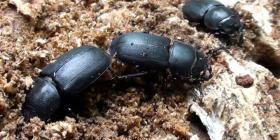 Бръмбари Coleoptera Предотвратете инфестация от