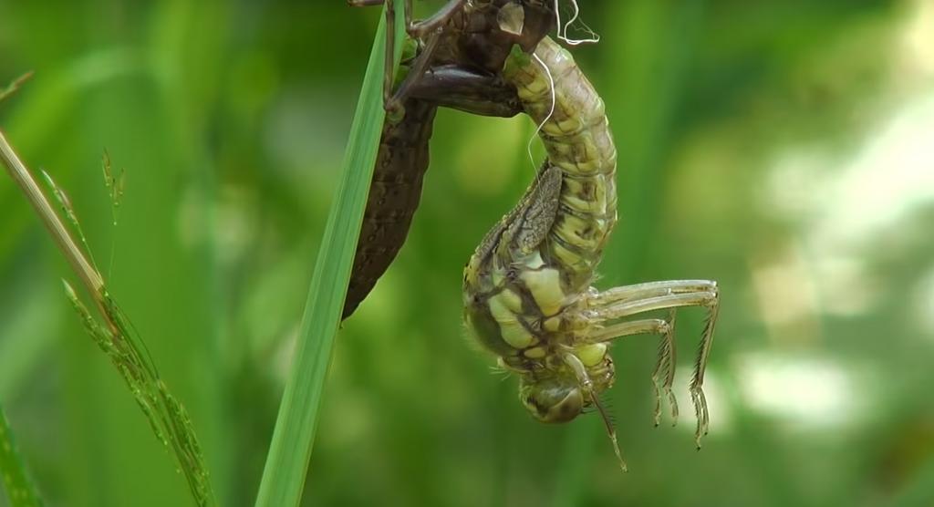 Водни Кончета Anisoptera Предотвратете инфестация от