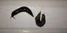 Голи Охлюви Gastropoda Предотвратете инфестация от