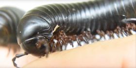 Диплоподи Diplopoda Предотвратете инфестация от
