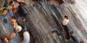 Дървояди Heterobostrychus Aequalis Предотвратете инфестация от