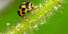 Калинки Coccinellidae Предотвратете инфестация от