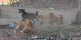 Кучета Canis lupus Предотвратете инфестация от
