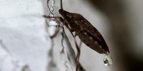 Миризливки Pentatomidae Предотвратете инфестация от
