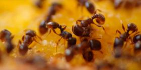 Мравки Formicidae Предотвратете инфестация от