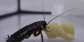 Ориенталски Хлебарки Blatta Orientalis Предотвратете инфестация от