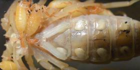 Скорпиони Arachnida Предотвратете инфестация от
