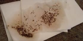 винени мушици Drosophila Melanogaster Предотвратете инфестация от